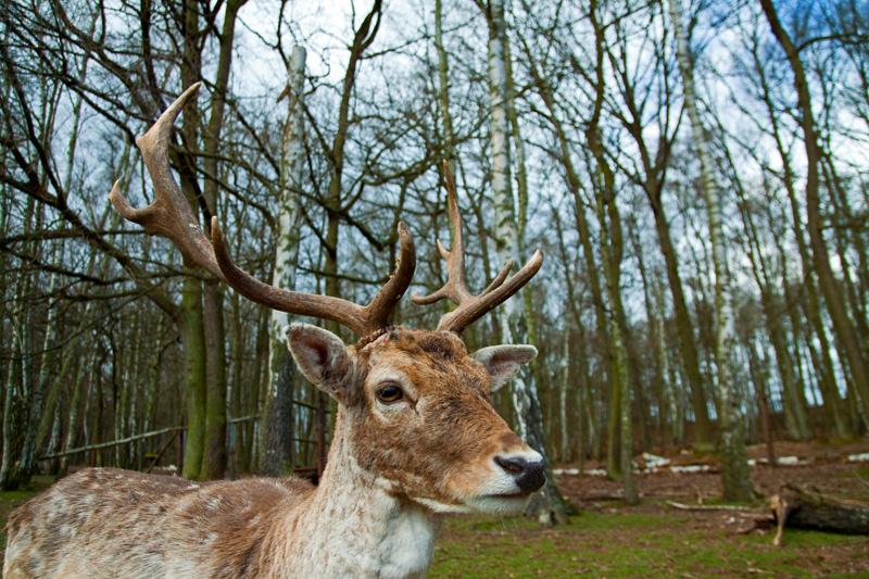hirsch geweih deer head antlers wood