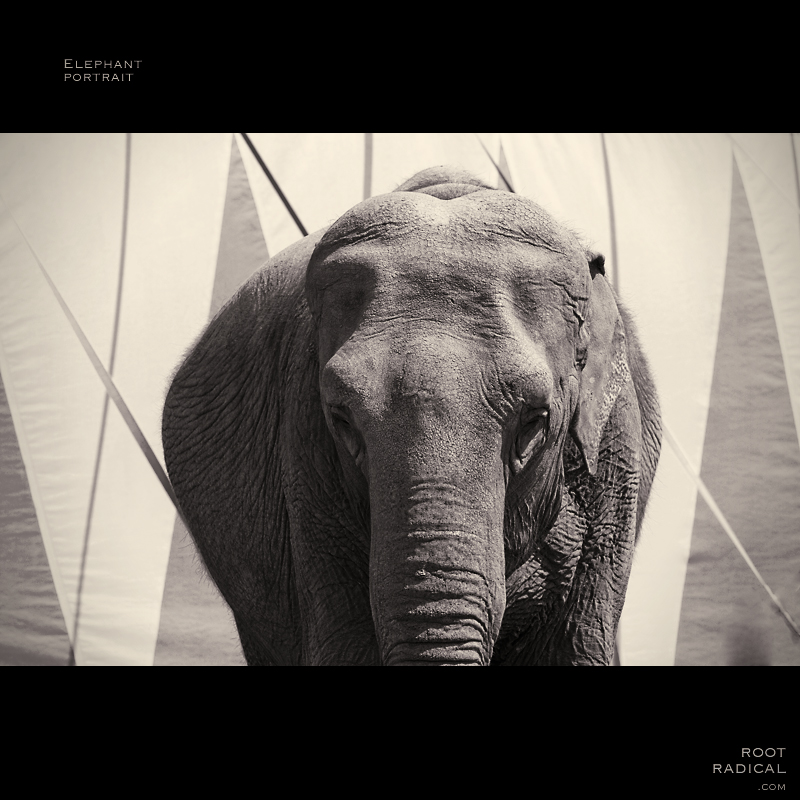Portrait of a circus elephant in black & white