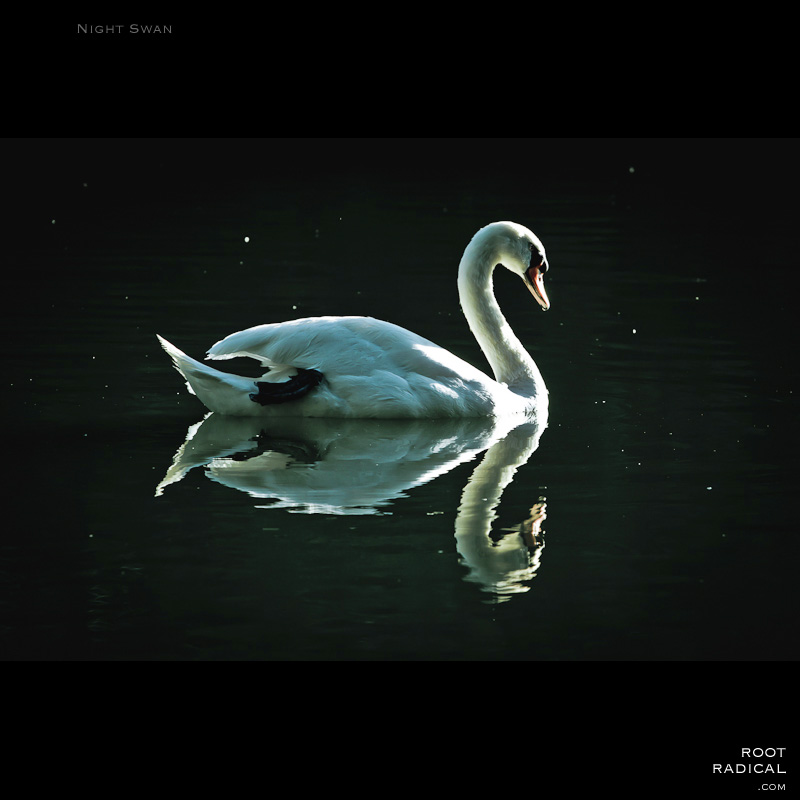 Photo of a swan at night, swimming in a lake. The water shows a reflection of a swam.