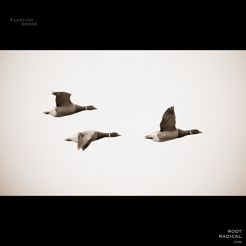 There geese flying