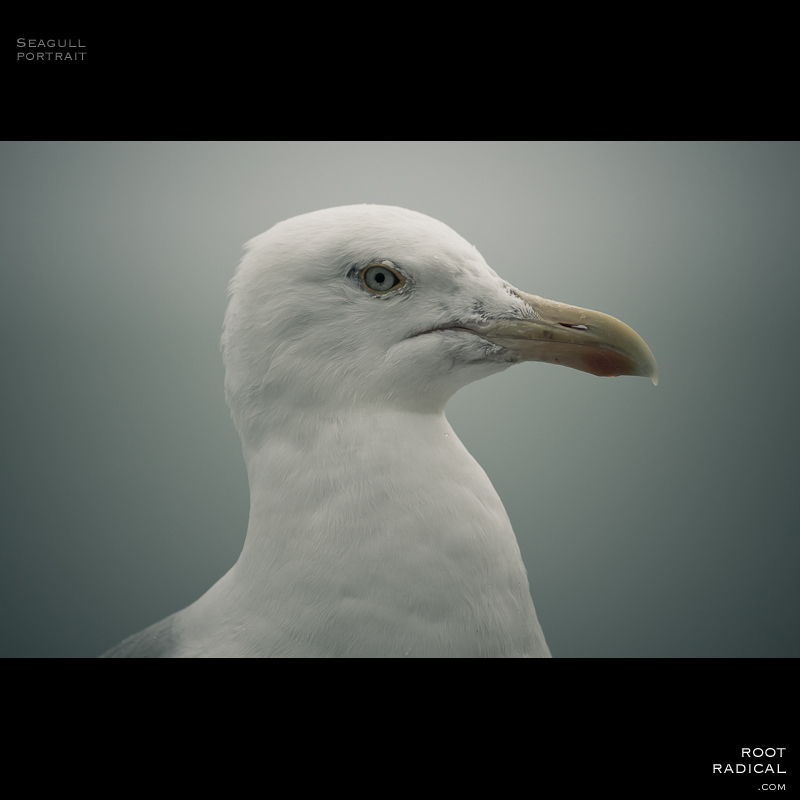 Closeup image of a seagull