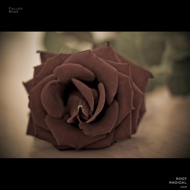 fallen-rose
